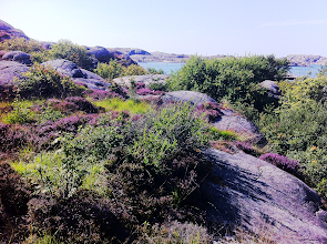 Photo: The heather begins to bloom.