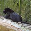 Black Jaguar, or Panther