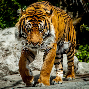 dinner time  by Sheena True - Animals Lions, Tigers & Big Cats ( orange, cat, tiger, feline )