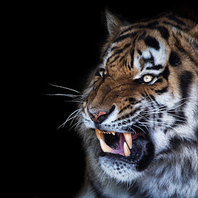 Angry Tiger by Christoph Reiter - Animals Lions, Tigers & Big Cats ( black background, zoo, angry, tiger )