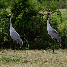 Cranes by Sarah Harding - Novices Only Wildlife ( nature, outdoors, novices only, wildlife, birds,  )