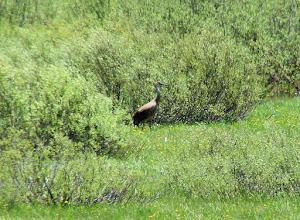 Photo: Sandhill crane in the Beaverhead Mountains