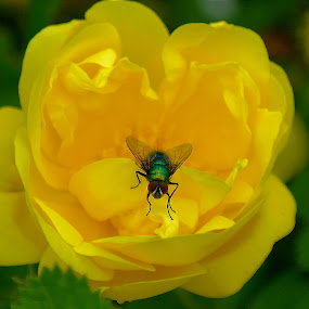 Fly on a Yellow Rose ! by Jan Siemucha - Nature Up Close Flowers - 2011-2013 ( rose, yellow rose, macro, fly, green, green leaves, house fly, leaves )