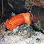 Red sea cucumber