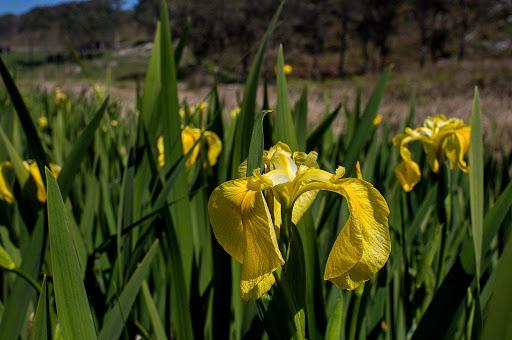 Iris Limniris pseudacorus