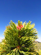 Photo: Limber Pine against the Montana sky