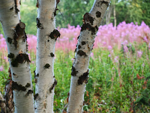 Photo: wszędobylskie skandynawskie brzózki