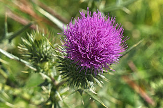Photo: A thistle in the park