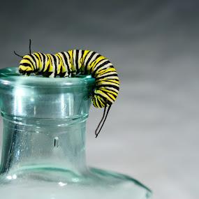 Caterpillar on glass bottle by Sondra Sarra - Artistic Objects Glass ( monarch, green, glass, yellow, caterpillar, bottle )
