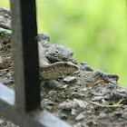 Erhard's wall lizard (Σιλιβούτι)