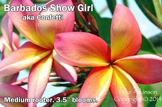 Photo: Barbados Show Girl aka Confetti - San Diego, CA - East San Diego county