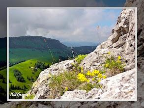 Photo: Hélianthème blanchâtre (Helianthemum canum) aux Aiguilles de Baulmes