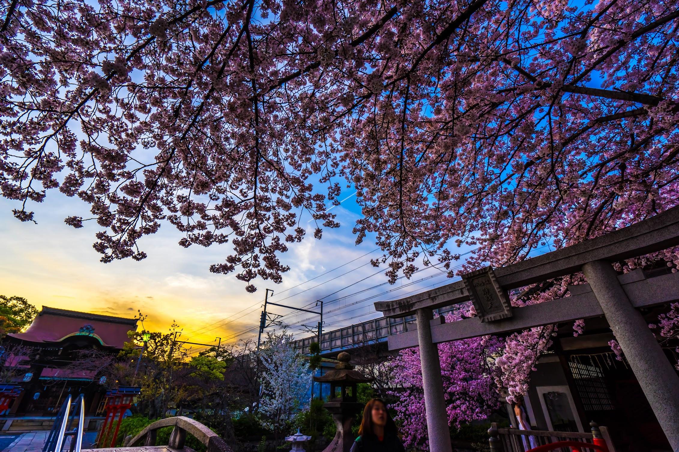 京都 六孫王神社 桜2