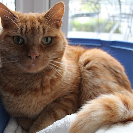 How do I look? by Morgan Bardon - Animals - Cats Portraits ( dspcafoster, car, ginger, foster, dspca, portrait )