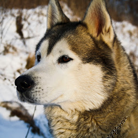 Husky in the snow by Suzana Svečnjak - Animals - Dogs Portraits ( siberian husky, watch, pet, snow, dog )