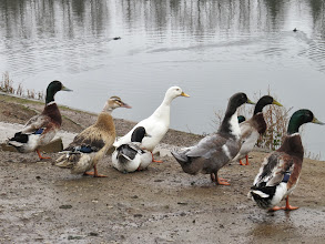 Photo: Middle Pool These are the usual gang of 7 feral 'Mallard-type' ducks at Middle Pool. I am not a bred-duck expert but some Indian Runner looks likely. (Ed Wilson)