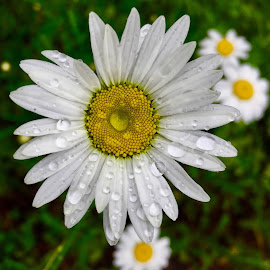 Daisies  by Debbie Squier-Bernst - Flowers Flowers in the Wild (  )