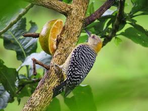 Photo: Hoffman's woodpecker (female)