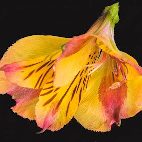 Alstroemeria by Simon Page - Flowers Single Flower