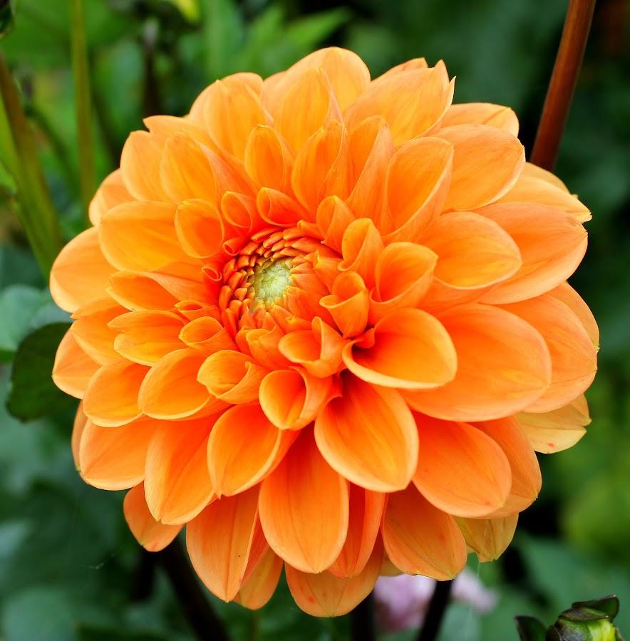 Orange Dahlia by Birgit Tosuni - Nature Up Close Flowers - 2011-2013 ( flowers, dahlia,  )