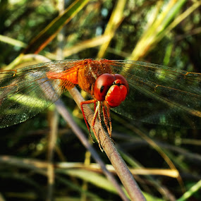 RED DRAGON  by Chhaditya Parikh - Animals Insects & Spiders
