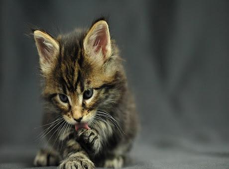 Striped Kitten 3