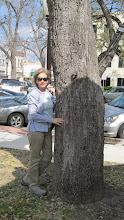 """Photo: Our trip begins with brief visits to several Famous Trees of Texas, this one in Seguin outside the courthouse. The iron ring at eye-level identifies this tree as the """"Whipping Oak,"""" where local justice was meted out, one lash at a time."""