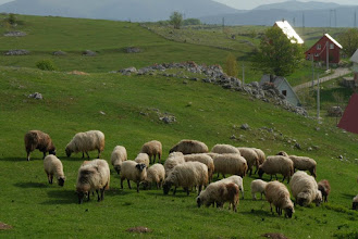 Photo: Sheeps grazing behind our Zabljak guesthouse
