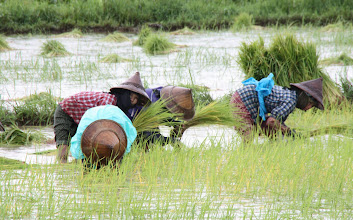 Photo: Year 2 Day 59 - Rice Workers
