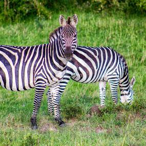 Zebra by Ebtesam Elias - Animals Other ( masai mara, wildlife, kenya, travel photography )