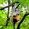 The Indian flying fox/ greater Indian fruit bat