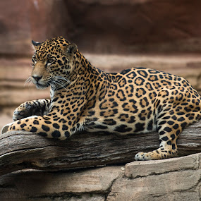 Relaxing Jag by Alan Naar - Animals Lions, Tigers & Big Cats