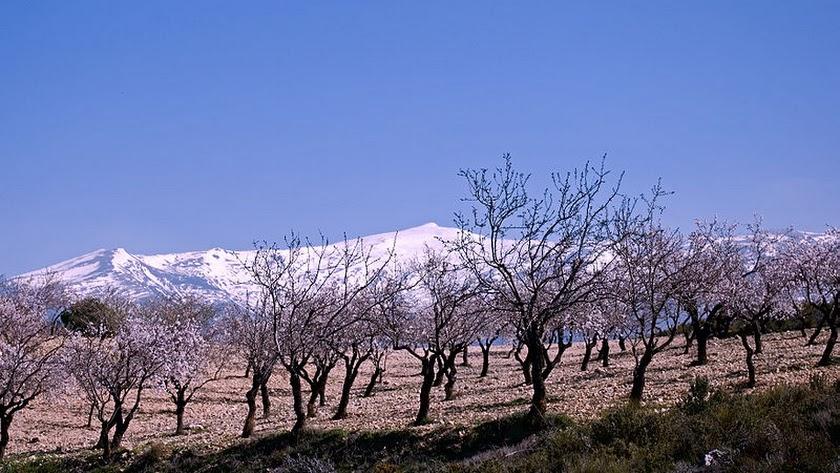 Cultivo de almendros con Sierra Nevada de fondo.