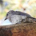 Eastern bluebird, fledgling