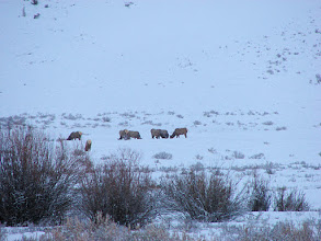 Photo: Elk along Highway 191 about 3 miles south of Big Sky