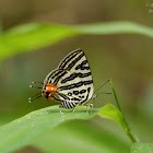 Spindasis syama-female 豆粒銀線灰蝶