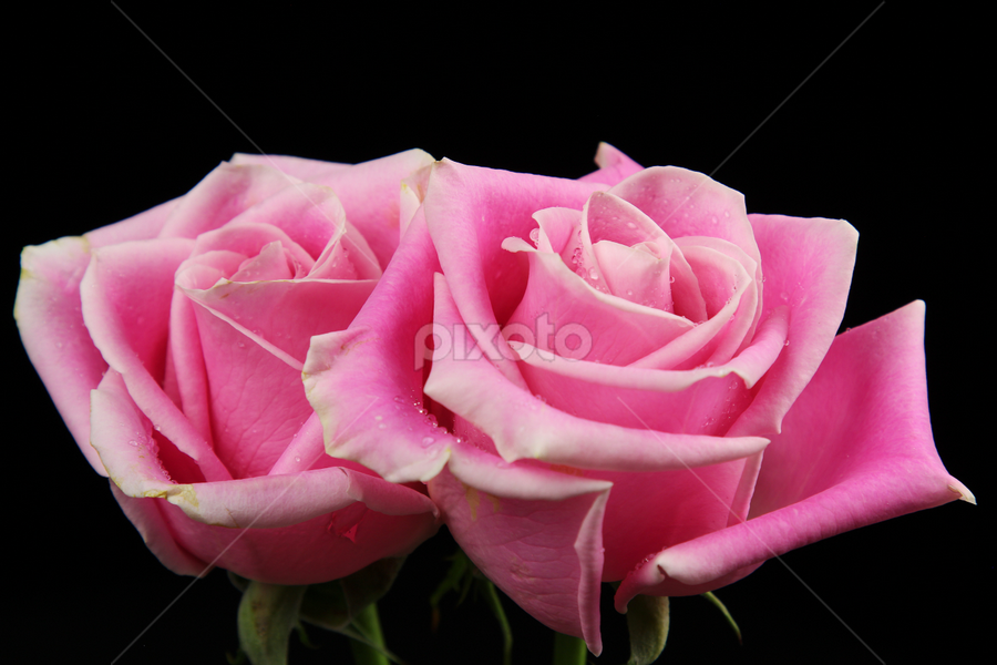Two Roses by Dipali S - Flowers Flower Arangements ( plant, detail, single, seasonal, colorful, bright, botany, beauty, botanical, buds, spring, pretty, blossom, close, love, macro, nature, fresh, pink, head, closeup, flower, blooming, decoration, flora, beautiful, bloom, rose, season, color, rosa, summer, freshness, natural, garden, floral, growth )