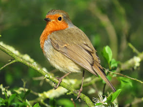 Photo: Priorslee Lake I know its corny: but it is great light and this Robin is posing so well! (Ed Wilson)