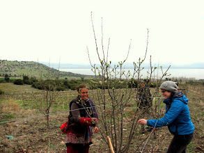 Photo: cutting quince trees