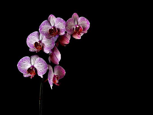 Le sorelle Phalaenopsis di effemme