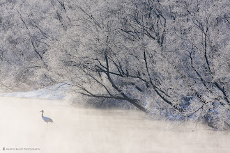 Photo: A solo Red-Crowned Crane takes a morning stroll.