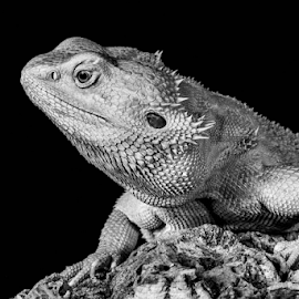 Dragon by Garry Chisholm - Black & White Animals ( sigma, bearded dragon, macro, nature, workshop, reptile, lizard, canon, garry chisholm )