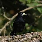 Solitary Black Cacique