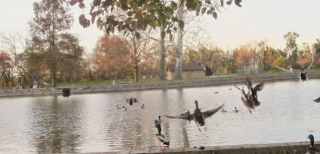 Photo: Ducks flying into a pond at Eastwood Park in Dayton, Ohio.