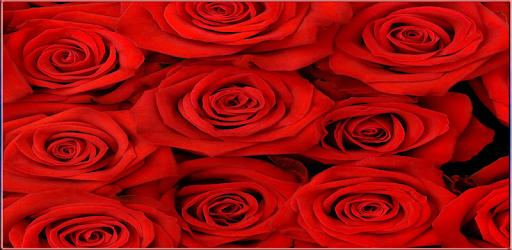 Rose Wallpaper Hd Applications Sur Google Play