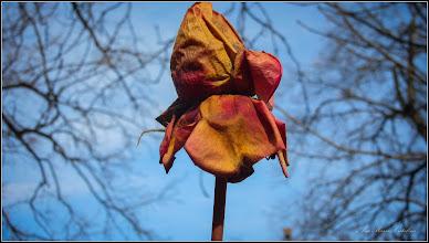Photo: Trandafiri (Rosa) - din spatiul verde al Colegiului National Mihai Viteazul - 2018.02.23