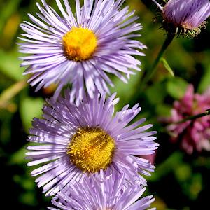 purple flowers 3 in row.jpg