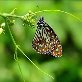 Butterfly  by Vinay Ad - Animals Other ( butterfly )