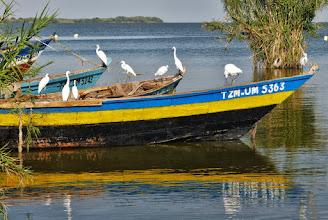 Photo: Vögel am Viktoriasee: Seidenreiher (Egretta garzetta, Little Egret) hoffen auf Fischreste.