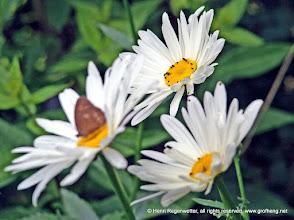 Photo: Marguerite - Jedes Insekt das in deinem Garten Nahrung findet, trägt seinen Teil in der Nahrungskette bei, damit alle sich reproduzieren können.
